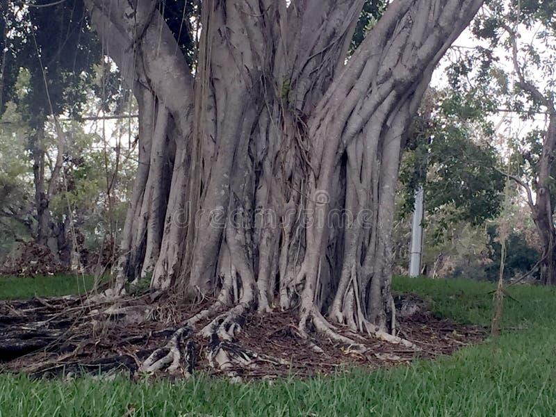 Rei das árvores fotos de stock