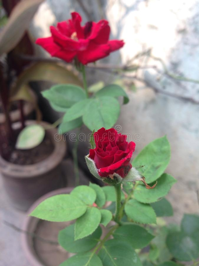 Rei das flores fotos de stock