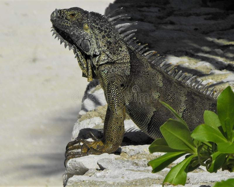 Rei das iguanas fotografia de stock