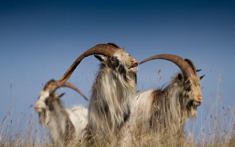 Rei de Feral Goats imagens de stock royalty free