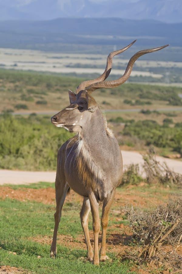 Rei de Kudu imagem de stock