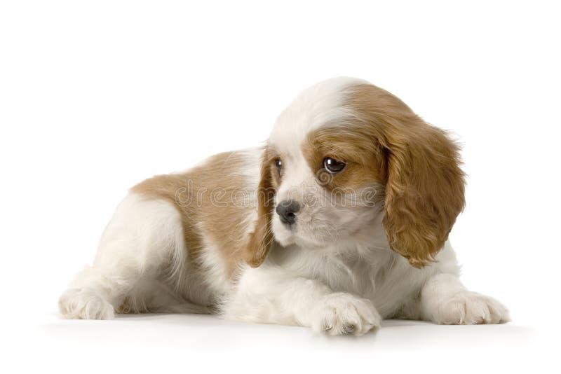 Rei descuidado Charles Filhote de cachorro fotografia de stock