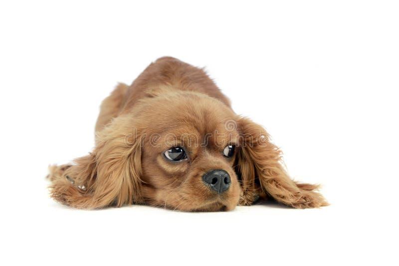 Rei descuidado Charles Spaniel do cachorrinho bonito que encontra-se e que olha lateralmente em um estúdio branco fotos de stock royalty free