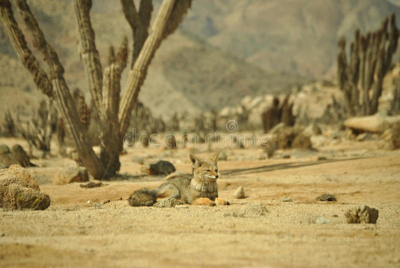 Rei do deserto imagem de stock