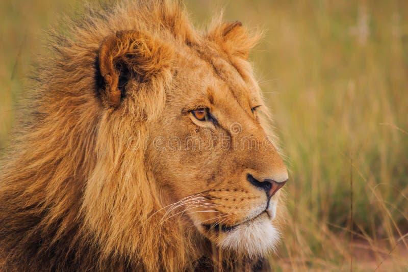 Rei do leão fotografia de stock royalty free