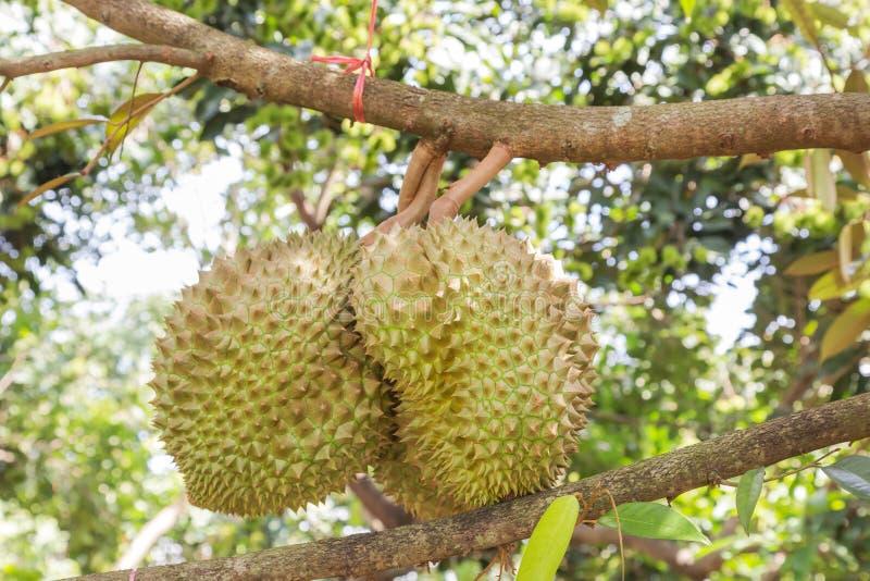 Rei fresco do zibethinus do Durio do Durian do crescimento dos frutos tropicais na exploração agrícola orgânica imagem de stock