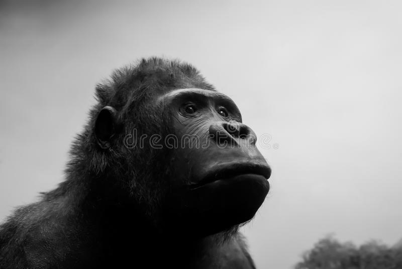 Rei Kong vivo imagens de stock