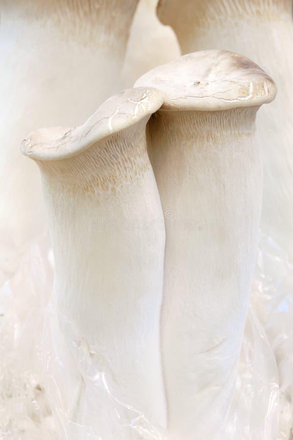 Rei Oyster Mushroom fotos de stock