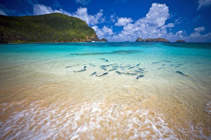 Rei Peixe no senhor Howe Console Austrália da praia fotografia de stock