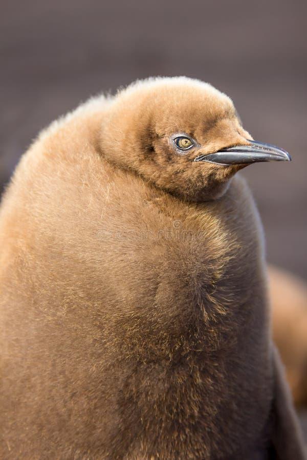 Rei Penguin Chick Close acima do retrato imagem de stock royalty free