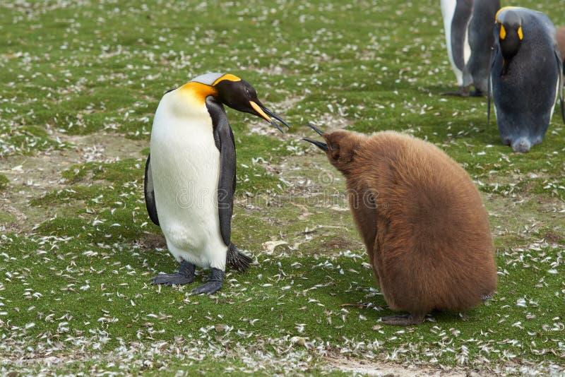Rei Penguin com pintainho com fome - Falkland Islands foto de stock royalty free
