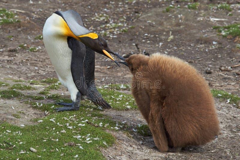 Rei Penguin com pintainho com fome - Falkland Islands imagens de stock royalty free