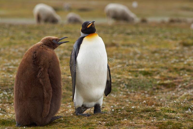Rei Penguin com pintainho com fome - Falkland Islands imagens de stock