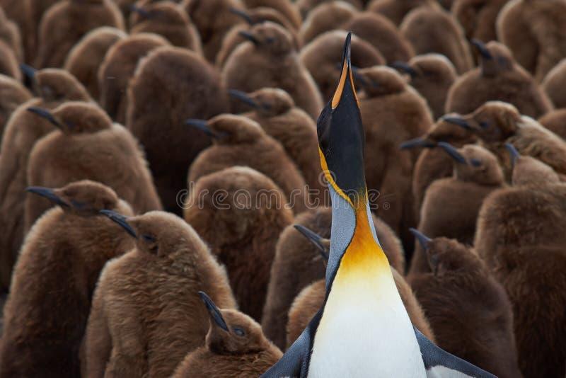 Rei Penguin Creche - Falkland Islands foto de stock