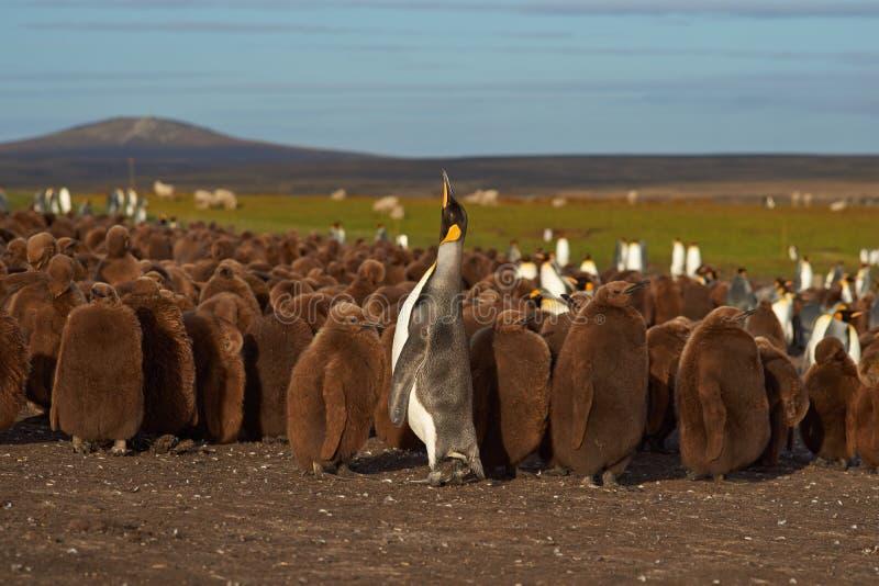 Rei Penguin Creche - Falkland Islands fotos de stock royalty free