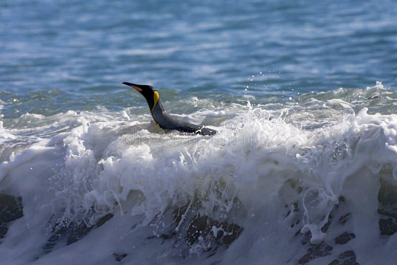 Rei Penguin, Koningspinguïn, patagonicus do Aptenodytes imagem de stock