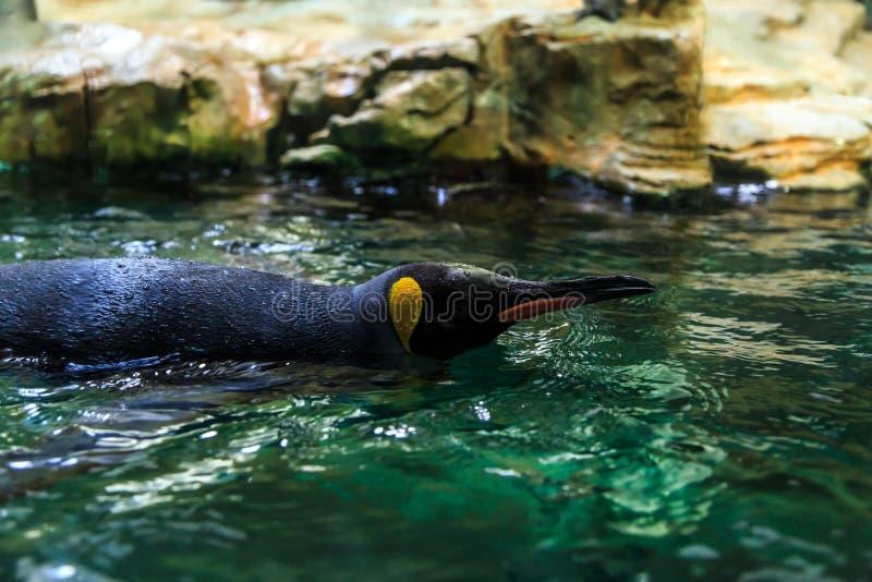 Rei Penguin Swimming dentro da associação fotografia de stock royalty free
