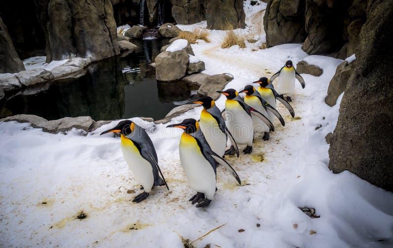 Rei Penguins imagem de stock royalty free
