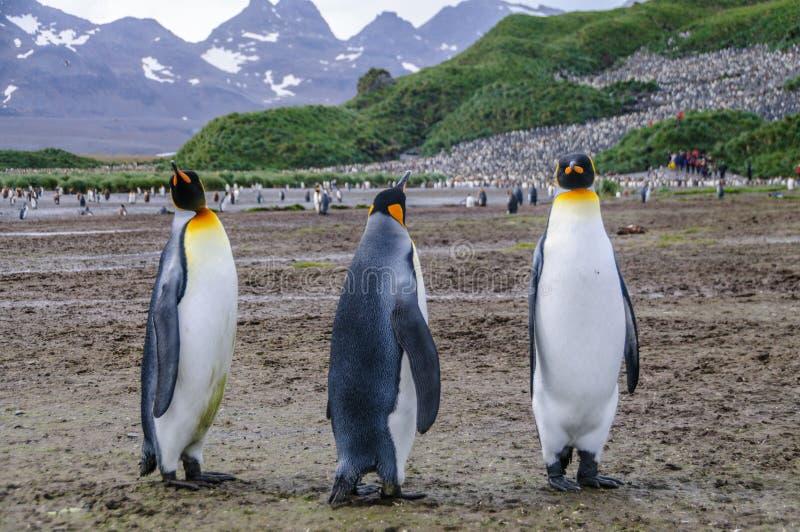 Rei Penguins em plan?cies de Salisb?ria imagem de stock