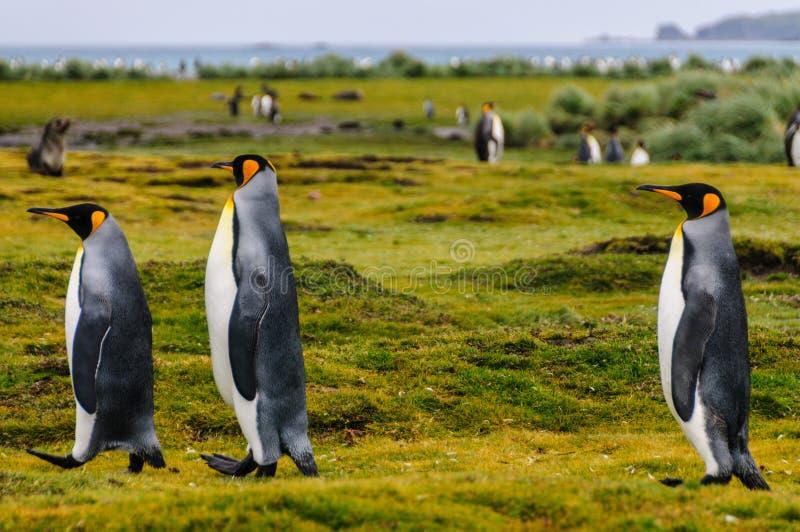 Rei Penguins em plan?cies de Salisb?ria foto de stock