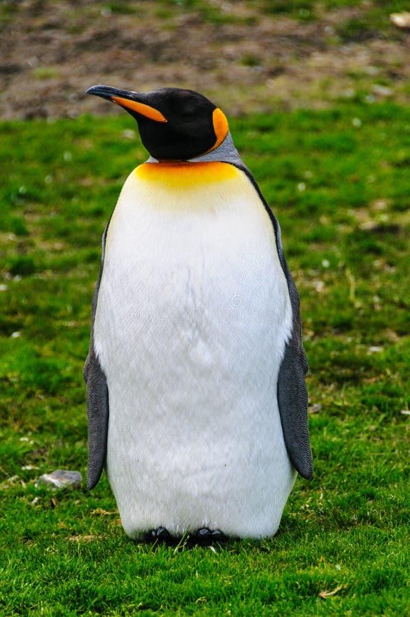 Rei Penguins na ba?a de Fortuna fotografia de stock royalty free