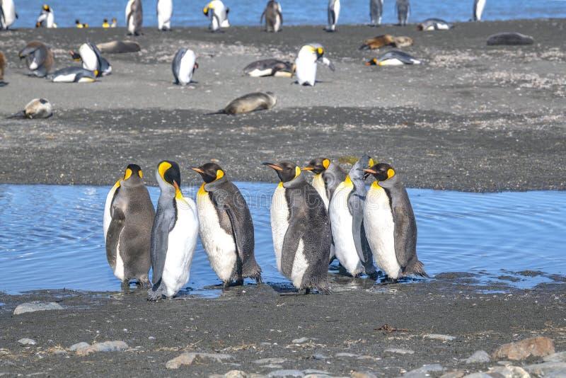 Rei Penguins na praia em St Andrews Bay - polar fotos de stock royalty free