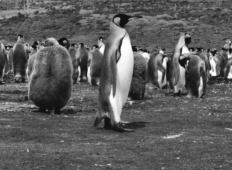 Rei Penguins no ponto voluntário, Falkland Islands Islas Malvinas fotografia de stock