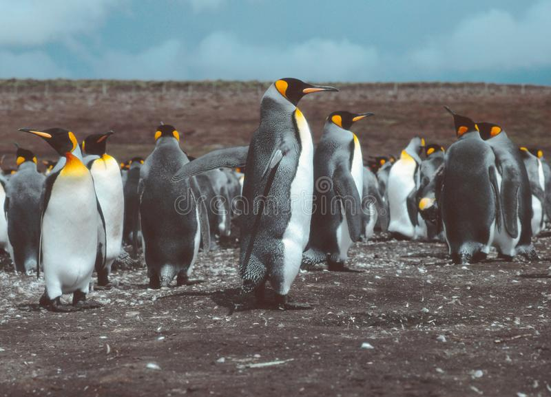 Rei Penguins no ponto volunt?rio, Falkland Islands Islas Malvinas fotografia de stock royalty free