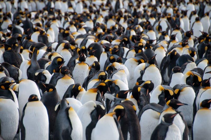 Rei Penguins no porto do ouro fotos de stock royalty free