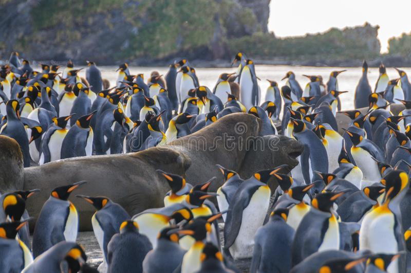 Rei Penguins no porto do ouro fotos de stock royalty free