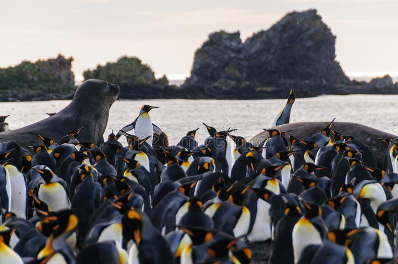 Rei Penguins no porto do ouro foto de stock