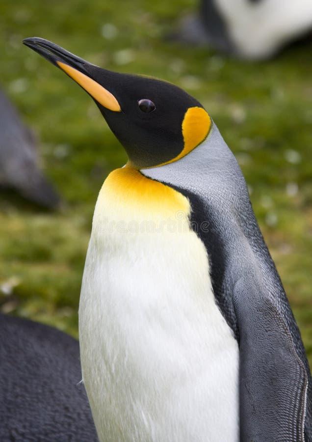 Rei pinguim - Ilhas Falkland foto de stock