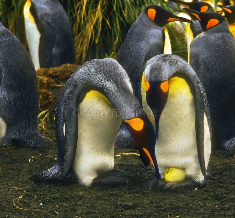 Rei pinguins com ovo fotos de stock