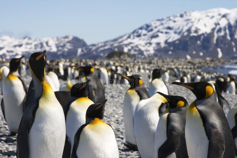 Rei pinguins em Geórgia sul fotos de stock