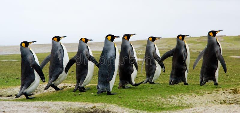 Rei pinguins que andam em uma linha imagens de stock