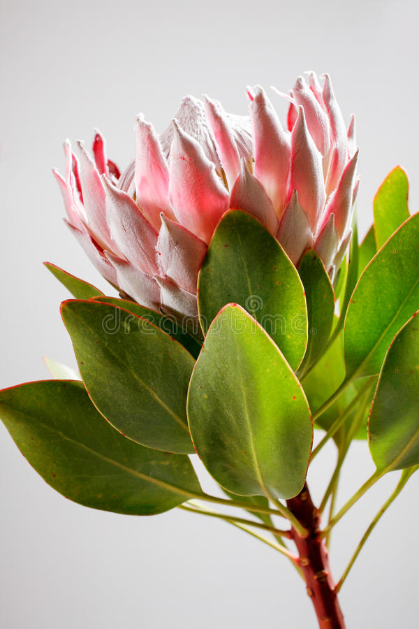 Rei Protea em Havaí imagem de stock royalty free