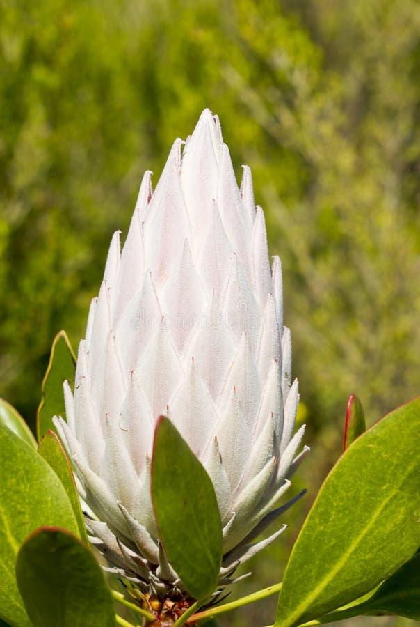 Rei Protea em Havaí imagens de stock royalty free