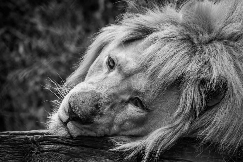 Rei triste dos animais imagem de stock royalty free