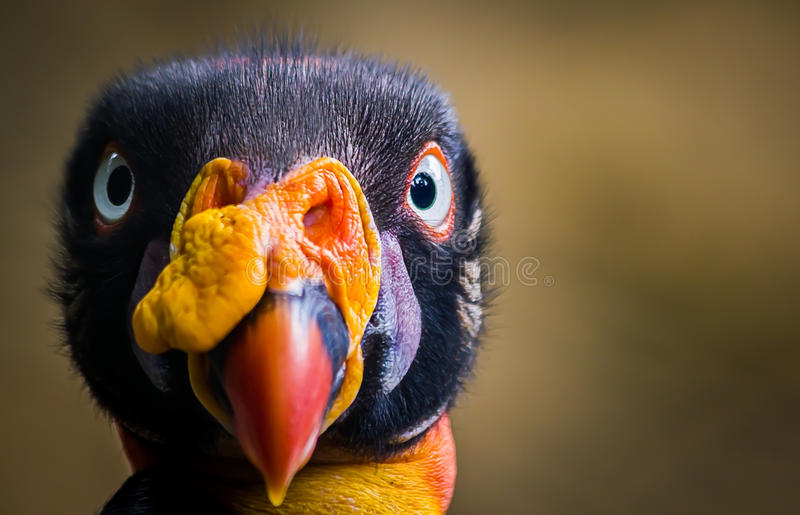 Rei Vulture imagens de stock royalty free