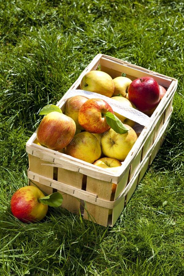 Download Reiche Ernte Der Schönen Äpfel Stockfoto - Bild von korb, ernte: 9080054