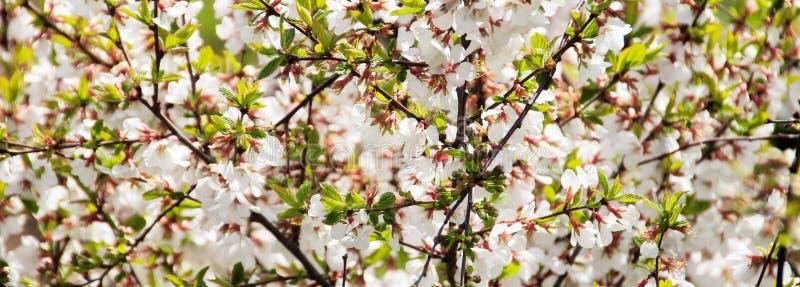 Reichlich blühende Kirsche im hellen Sonnenschein stockfotos