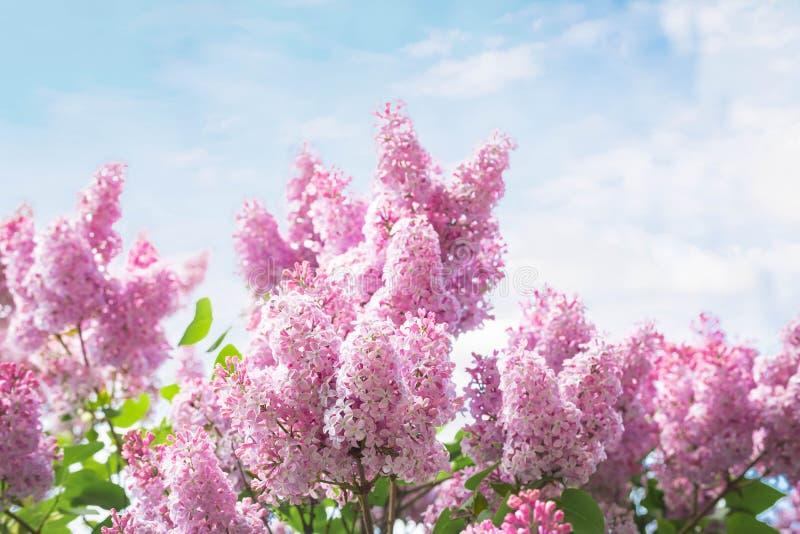 Reichlich blühende Niederlassungen einer rosa Sirene stockfoto