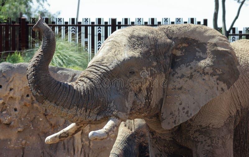 Reid Park Zoo Elephant, Tucson, o Arizona foto de stock royalty free