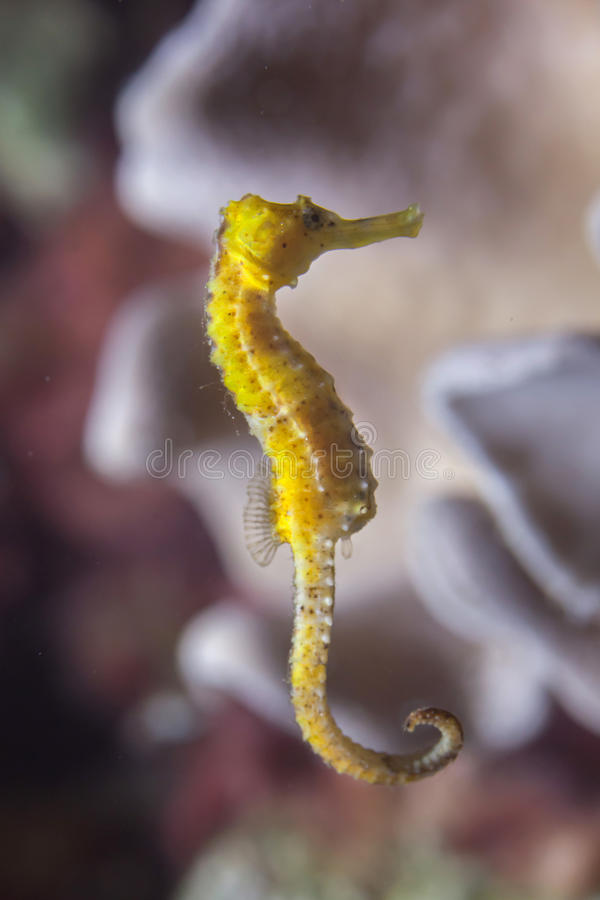 Reidi delgado do hipocampo do cavalo marinho imagens de stock royalty free