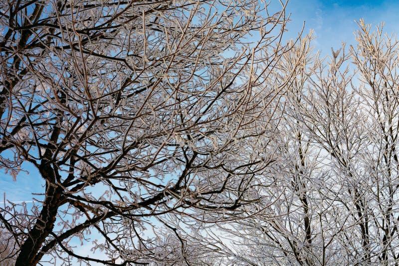 Reif auf Bäumen mit blauem Himmel und goldenem Sonnenlicht stockfotografie