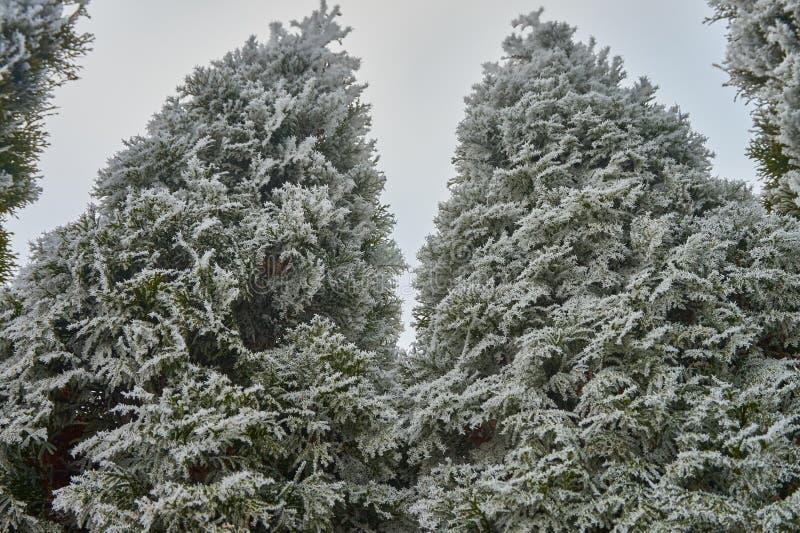 Reif auf Thujabäumen lizenzfreies stockfoto