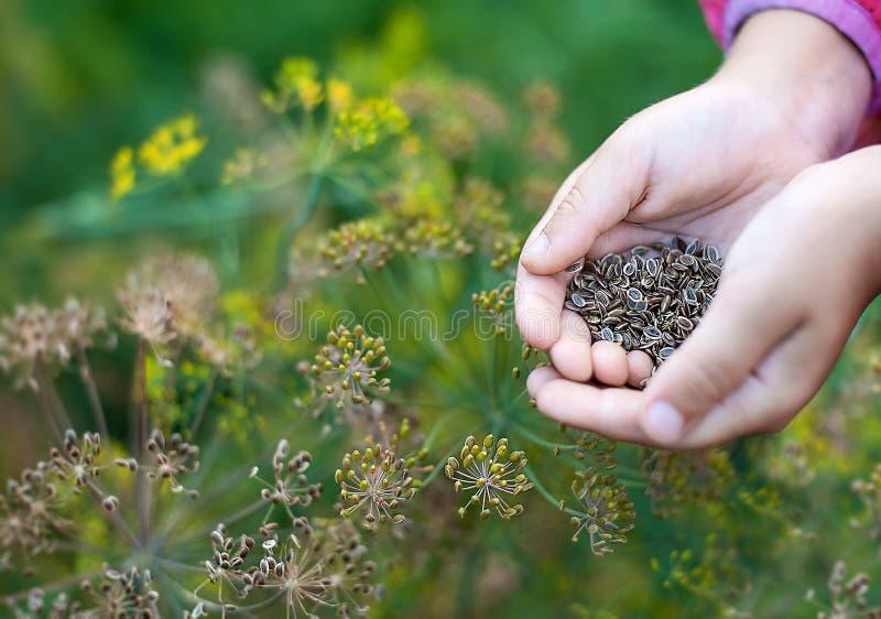 Reif-Braundillsamen in der Hand eines Kindes zum Anpflanzen und Aufbauen grüner Pflanzen Schließen Fennel-Blumen Außenbereich Das stockfoto