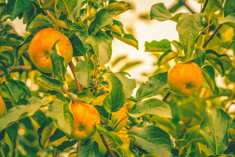 Reife Äpfel in einem Baum stockfotos