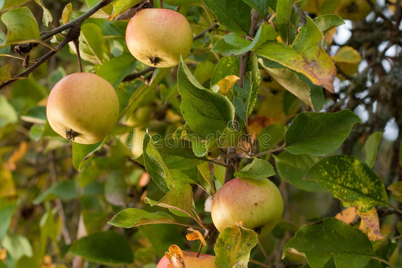 Reife Äpfel im Baum lizenzfreies stockfoto
