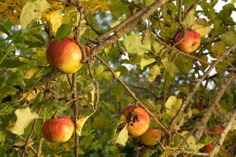 Reife Äpfel im Baum lizenzfreie stockfotografie